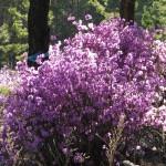Весна - Багульник - Забайкалье