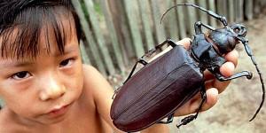 Южноамериканский жук дровосек-титан (Titanus giganteus)