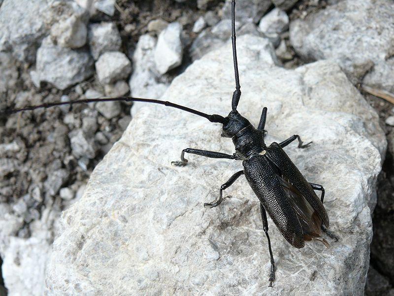 Волосогрызка, жук-стриж - Большой черный еловый усач