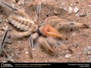 Верблюжий паук - он же Сольпуга или Фаланга